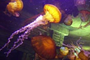 jellyfish at the Mandalay Bay Resort Shark Reef Aquarium
