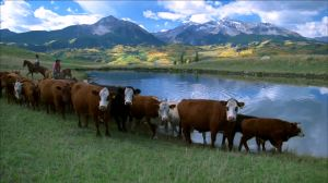 Cows watering at a stock pond in Colorado