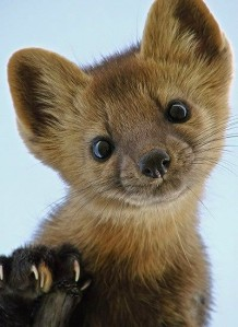 Martens — a cousin of the weasel — will act cute to your face, and cunning behind your back.